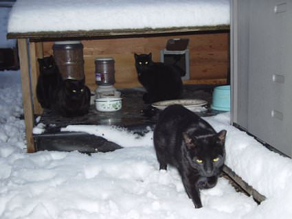 winter feral cats